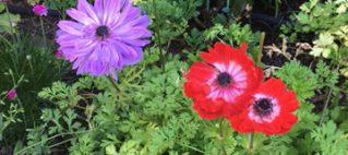 Anemones spring