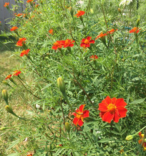 Cottage Red Marigolds in garden