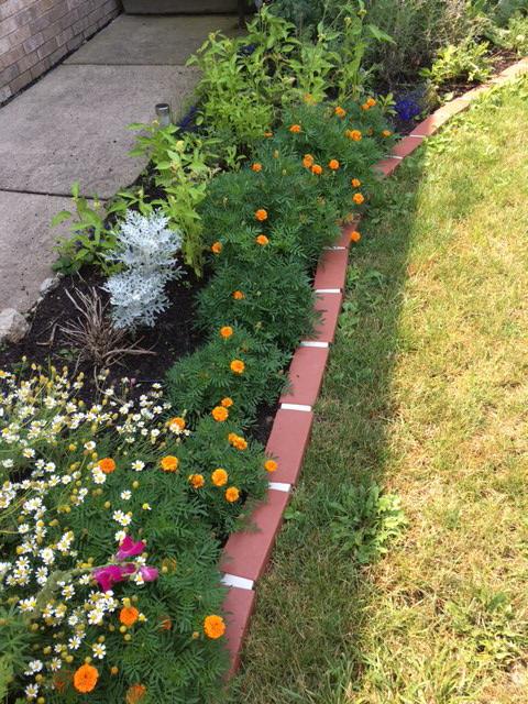 Garden Marigolds seed